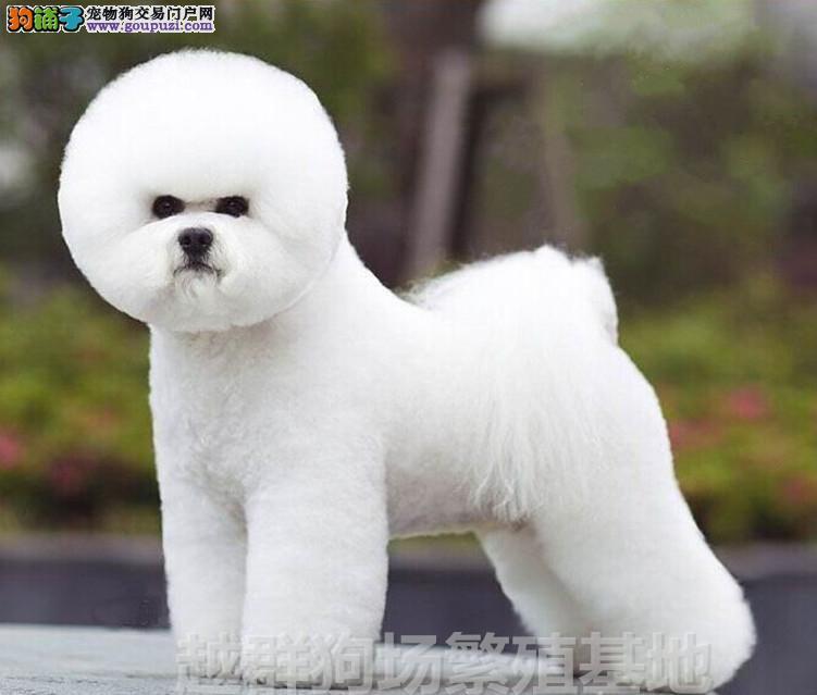 广东大型养狗基地 顶级比熊犬半年包换