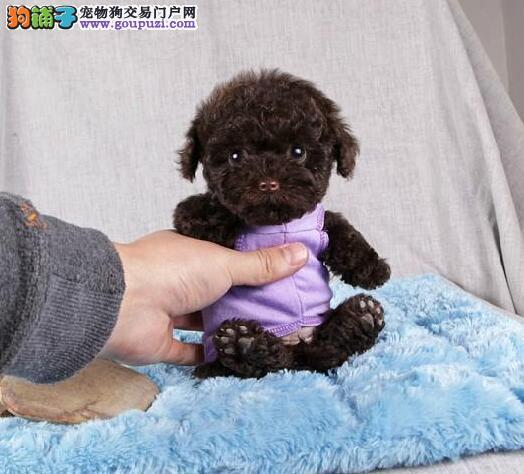 世界最小型狗狗.茶杯犬.茶杯袖珍,纯种茶杯袖珍狗