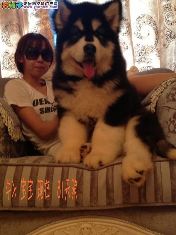 超熊版巨型阿拉斯加绝对霸气的雪橇犬成年220斤已训练