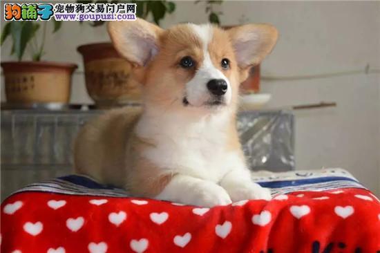 基地专业繁殖出售各种世界名犬 包纯种 包养活