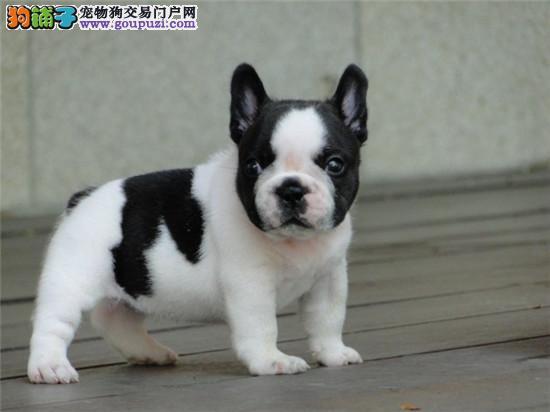 基地出售各种世界名犬 包纯种 包养活 包邮