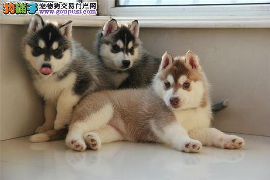 狗场直销各种世界名犬包纯包养活 全国包邮