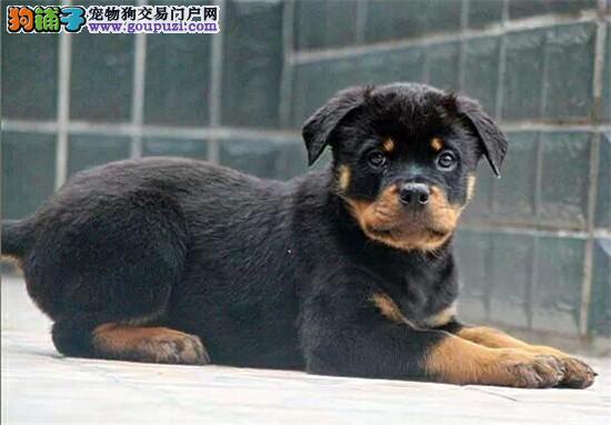 基地出售各种世界名犬 包纯种 包养活 送用品