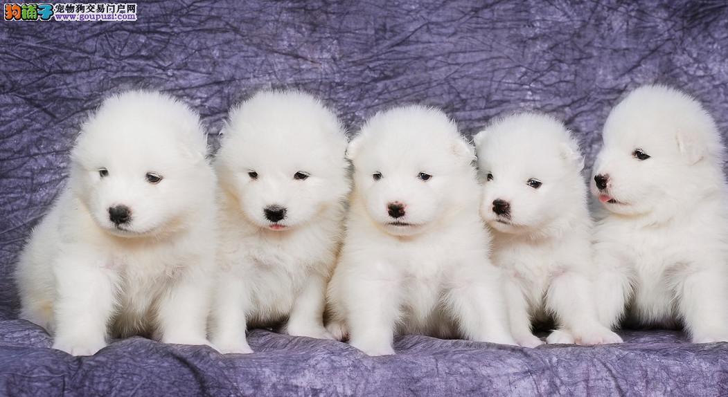 微笑天使 熊版澳版 萨摩耶 萌宠狗狗自家繁殖