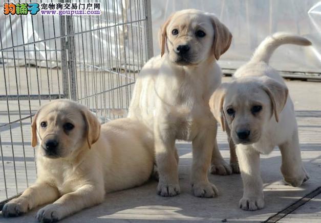 实体拍摄一绝无二家一拉布拉多幼犬一签订活体协议