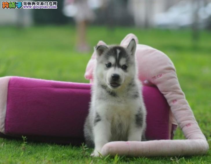 正规犬舍繁殖纯种 赛级哈士奇保纯种健康 可上门刷卡