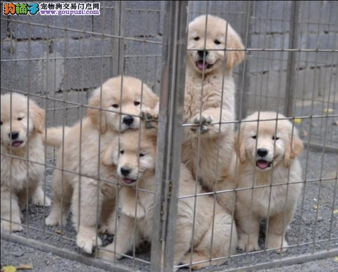 基地直销大头大骨架 金毛幼犬·出售·包健康可上门