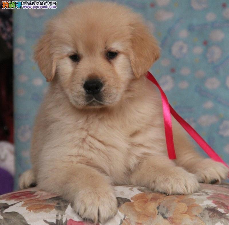 犬舍出售泰迪熊 比熊 博美 拉多 金毛 萨摩 阿拉斯加等