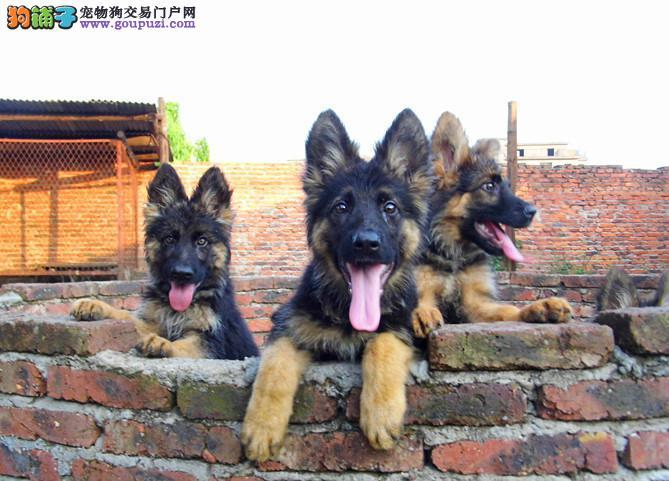 狼狗出售、德牧、健康纯种、大型狼狗基地