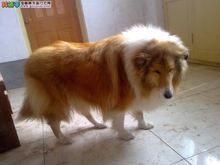 宁波家庭繁殖苏牧幼犬保证纯种健康出售 签协议