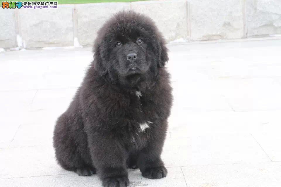 成都自家繁殖纽芬兰犬出售公母都有市内免费送货