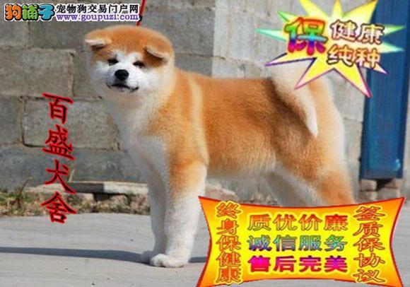 日系,秋田犬,常年出售多窝幼犬 全国包邮