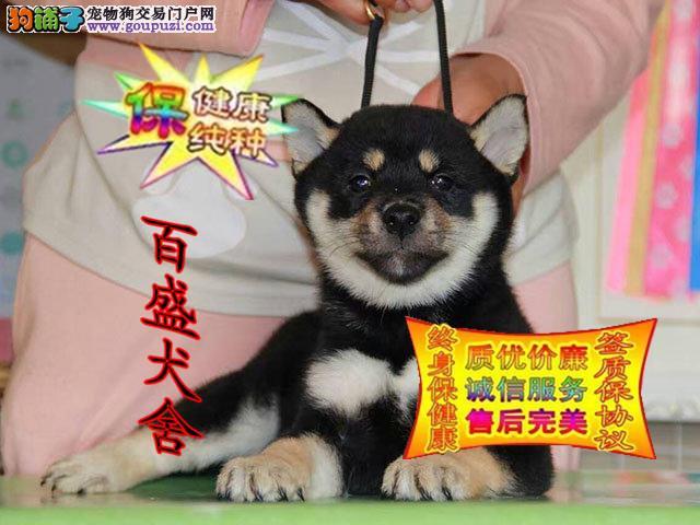 精品柴犬,纯种幼犬,赛级血统 全国包邮