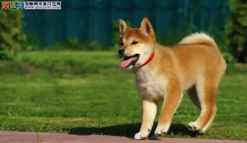 大连繁殖基地出售多种颜色的柴犬质保三年支持送货上门