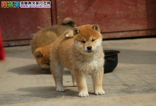 沈阳知名犬舍出售多只赛级柴犬包养活送用品