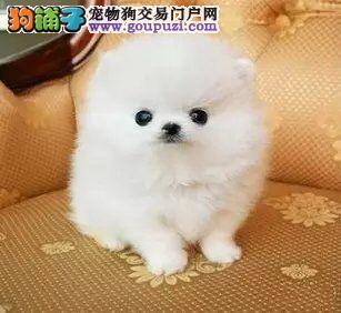 重庆哪里有哈多利球形博美犬出售博美是好多钱一只