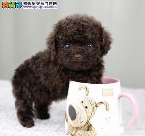 极品小体韩国进口茶杯犬泰迪签订协议含血统证