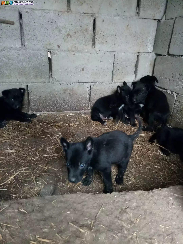 黑狼小狗出售,魏玛,维兹拉,猎狼,比特也有小狗出售
