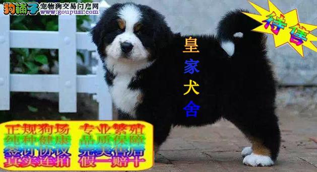 纯种伯恩山,精品幼犬,血统好,头版骨量足