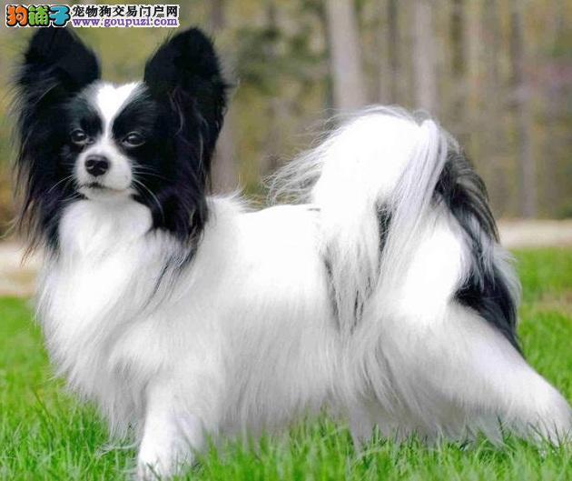 买卖蝴蝶犬在什么地方 纯种蝴蝶犬哪里有出售的