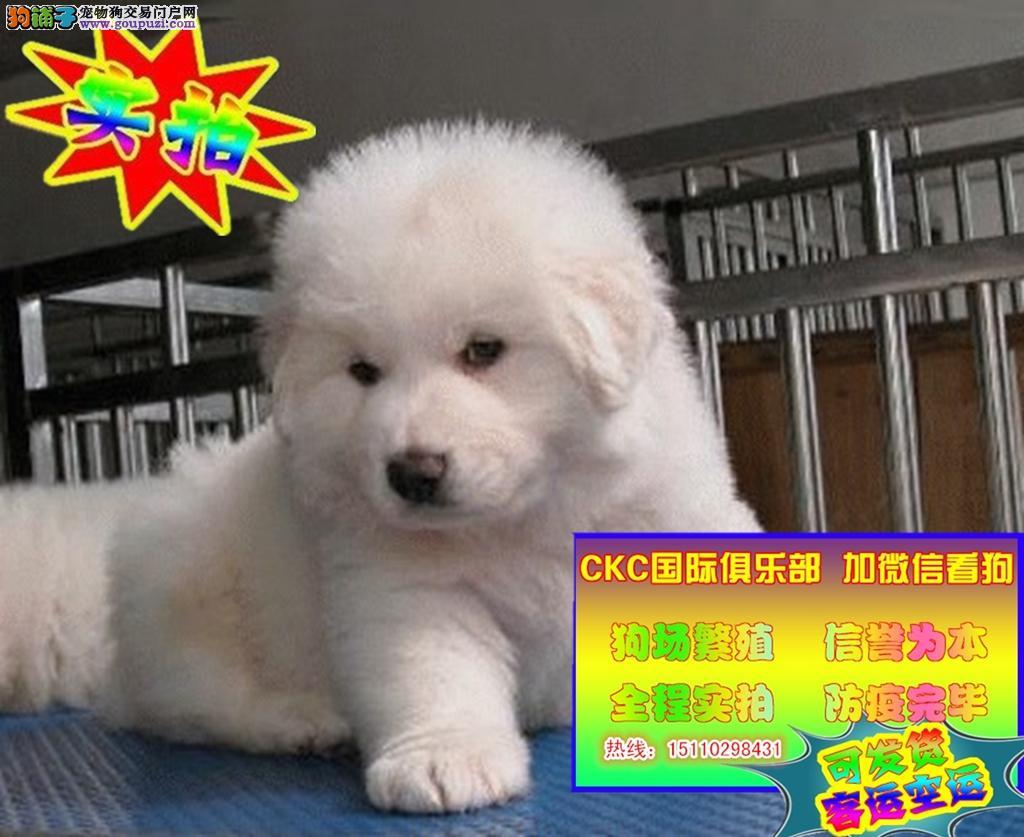 出售赛级纯种大白熊犬 健康品质终身质保本市免费送货