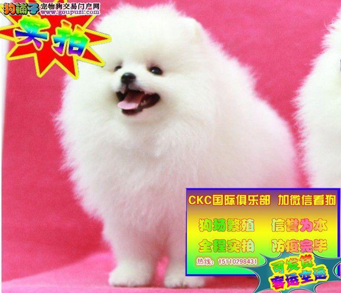 哈多利系博美犬、纯种博美犬价格、英系博美犬多少钱