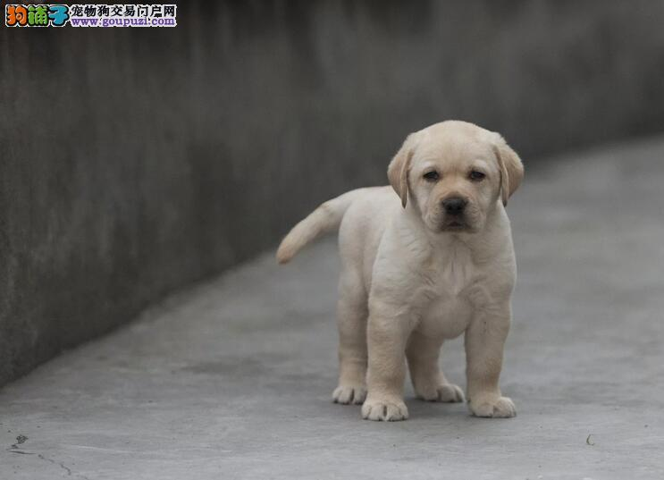 犬舍直销 出售三十多个品种 终身包纯种健康包养活