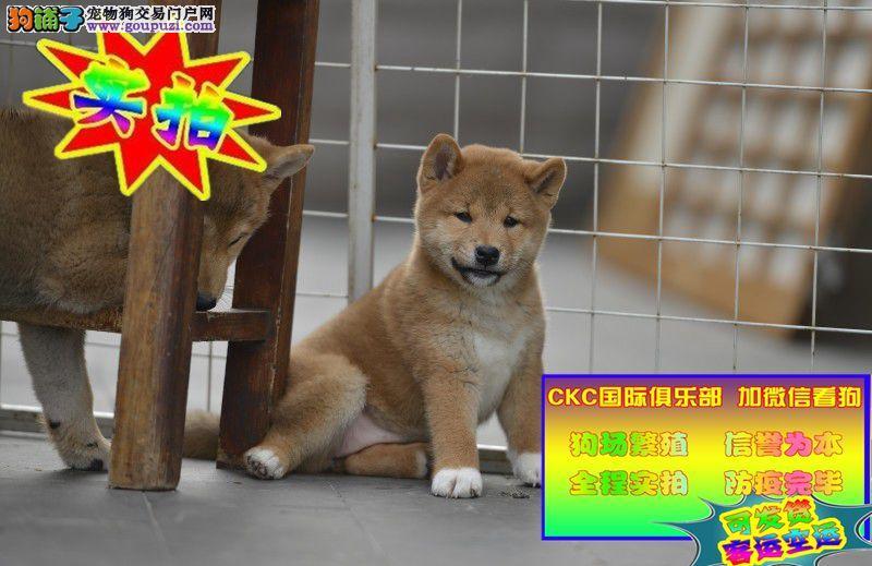 纯种柴犬 保纯保健康 CKU认证血统 质量三包