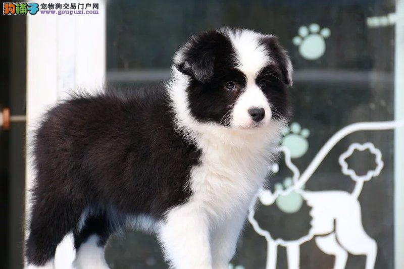 、出售纯种赛级边境牧羊犬,可签协议质保