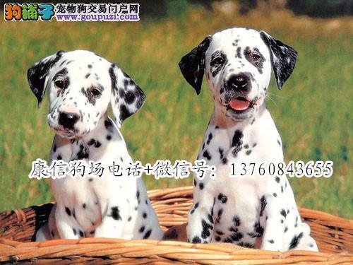 深圳什么地方有狗场卖好狗 深圳哪里有卖斑点犬