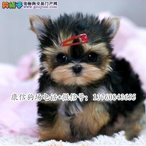 深圳哪里有卖约克夏 深圳哪里有正规犬舍卖狗