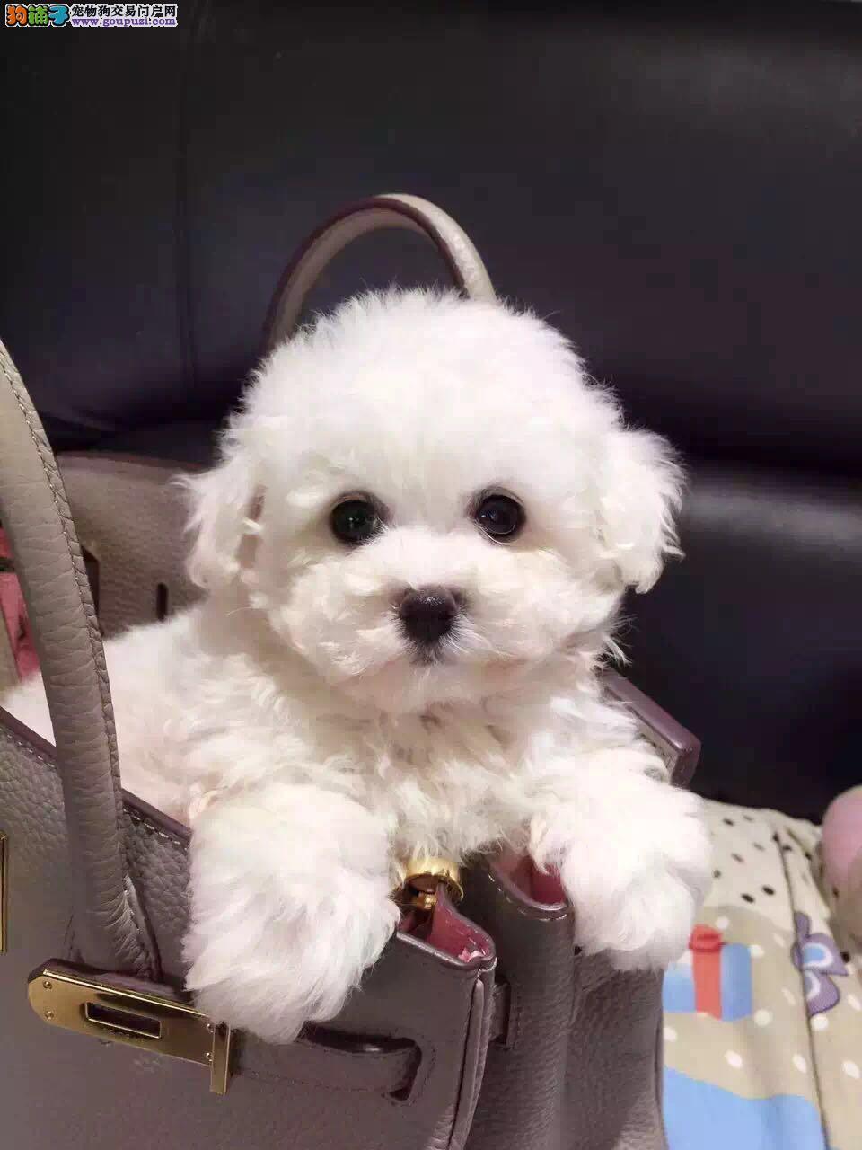 武汉本地出售高品质泰迪犬宝宝喜欢加微信可签署协议