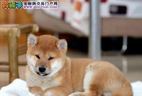 国外引进纯柴犬 专业繁殖血统纯正 签协议可送货