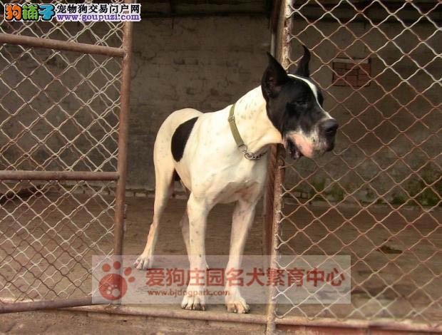 精品大丹幼犬出售,保证健康纯种