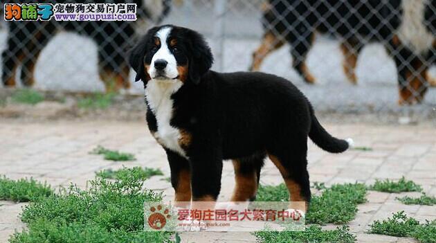 精品健康纯种伯恩山幼犬出售,欢迎前来选购