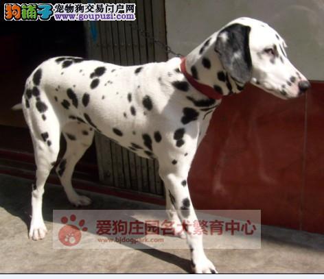 精品健康纯种斑点幼犬出售,欢迎前来选购