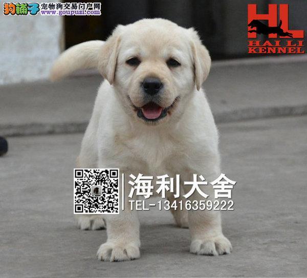 大头版拉布拉多寻导盲犬出售 血统纯正 可签售后