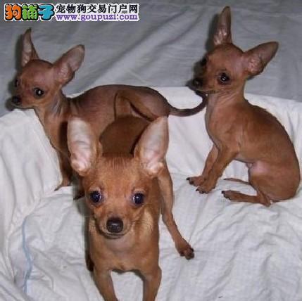 小鹿犬纯种幼犬 纯种小鹿犬幼犬