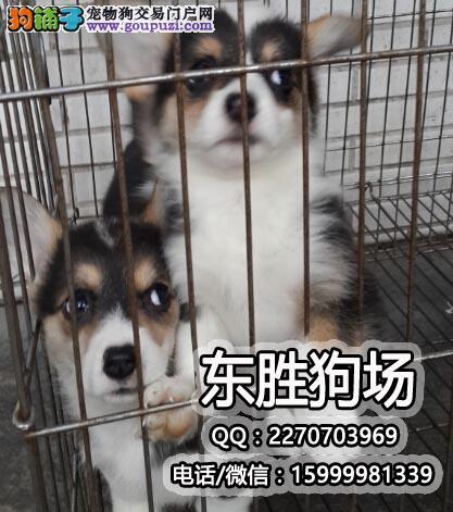 英国女皇的爱犬 威尔士柯基犬纯种两色三色