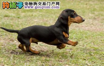 杭州纯种腊肠犬多少钱一只杭州一只腊肠犬要多少钱