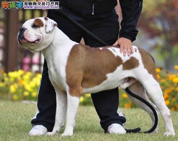 武汉自家狗场繁殖直销美国斗牛犬幼犬可直接微信视频挑选