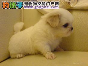 CKU犬舍认证出售高品质郑州京巴带血统证书签活体协议