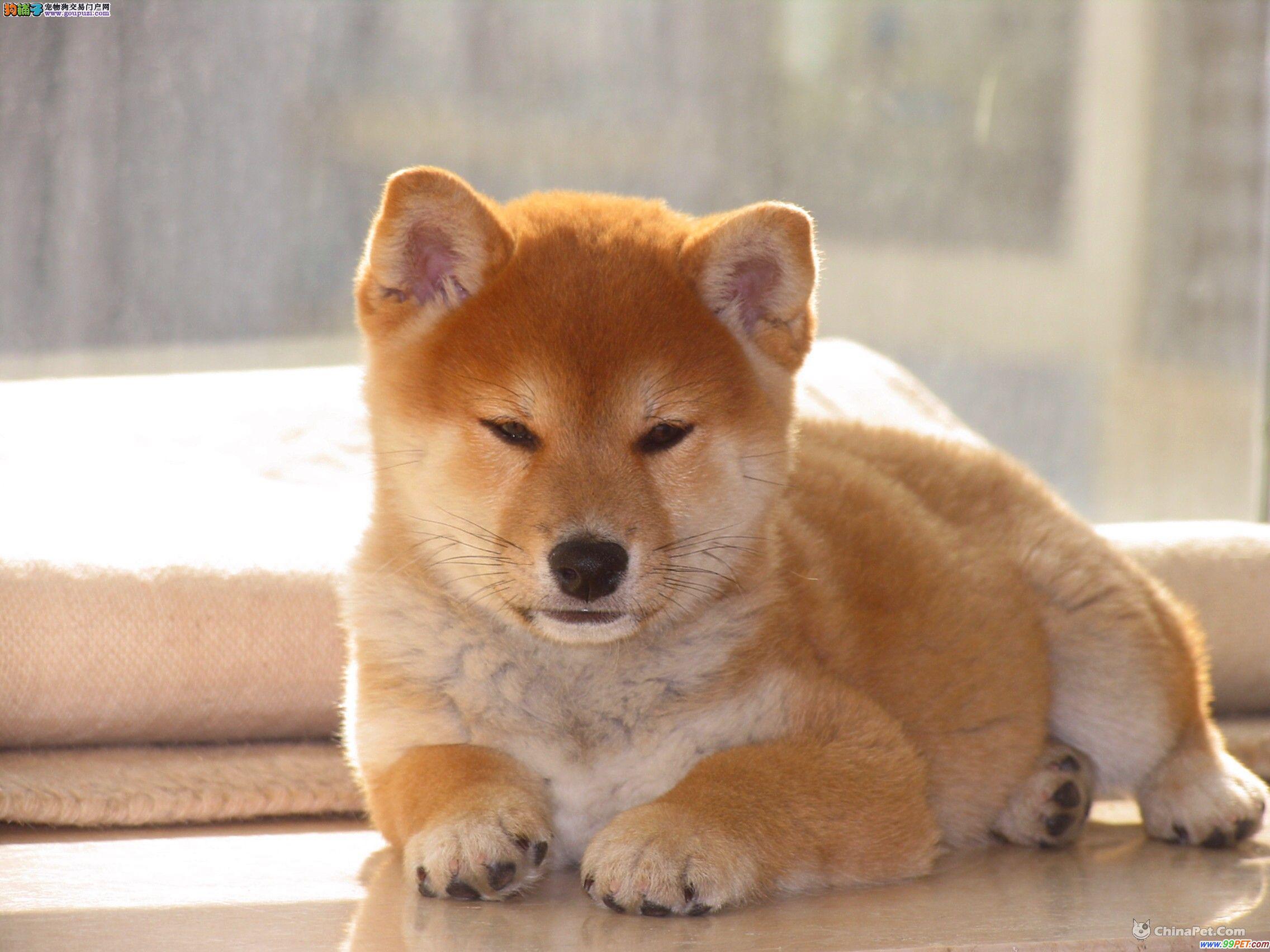 南昌出售柴犬公母都有品质一流可签订活体销售协议