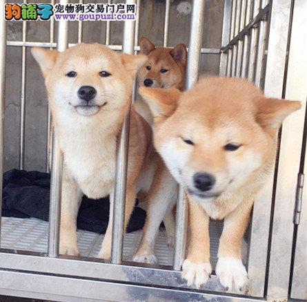 出售正宗血统优秀的锦州柴犬欢迎您的指导