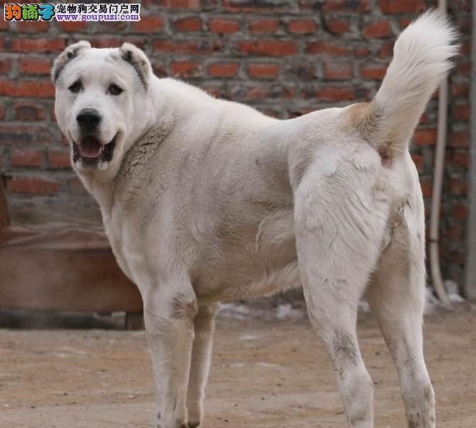 郑州最大犬舍出售多种颜色中亚牧羊犬冠军级血统品质保障