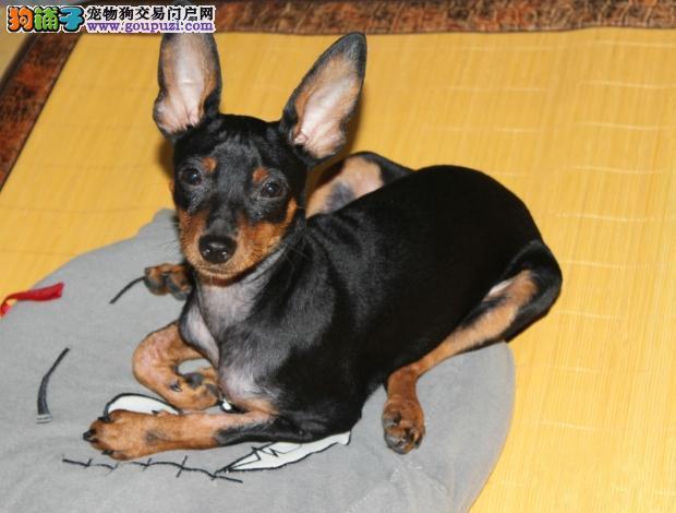纯种小鹿犬宝宝南宁地区找主人狗贩子请绕行