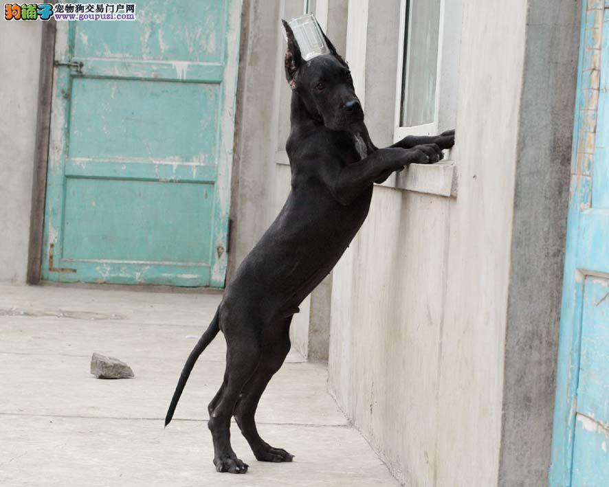 封出售极品大丹犬幼犬完美品相多种血统供选购