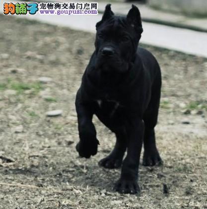 实体店低价促销赛级卡斯罗犬幼犬签订终身纯种健康协议