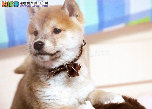 CKU认证犬舍 专业出售极品 柴犬幼犬南阳周边免费送货