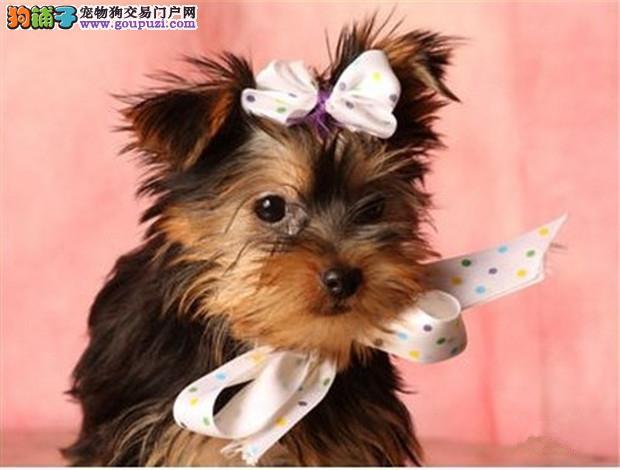 出售高品质纯血统小体毛长金头银背约克幼犬 纯种健康